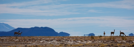Vicuña on the marginal land next to Salar de Uyuni