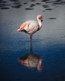 Flamingo with reflection