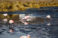 Flamingo and village