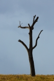 Dead tree near Icena