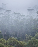 Trees in mist, Mount Field National Park