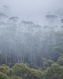 Trees in mist, Mount Field National Park