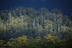 Trees, Mount Field National Park