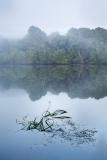 Sunrise reeds on the Pieman River at Corinna