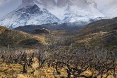 Blackened trees below Los Cuernos del Paine